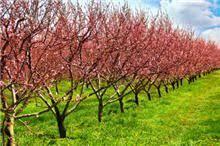 Elberta Peach Tree | Peach trees, Fast growing trees, Fruit trees