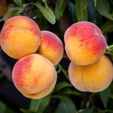Elberta Peach Tree | Naturehills.com